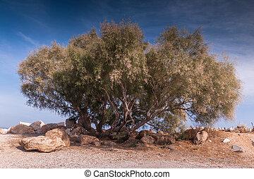grand arbre, rafina