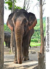 grand, asie, éléphant, dans, forêt, de, sountheast, asie