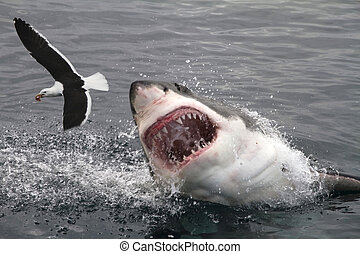 grand, attaque, blanc, requin
