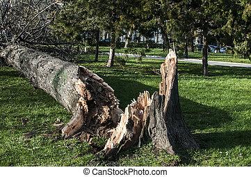 grand, baissé, après, arbre, orage