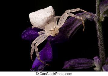 grand, blanc, araignés, effrayant