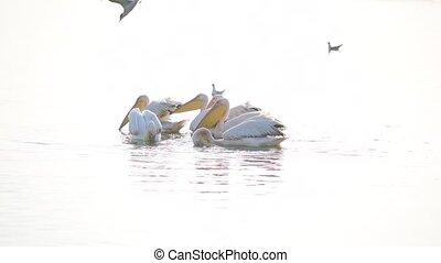 grand blanc, pélicans, nager, dans, lac, à, aube