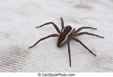grand, brun, araignés