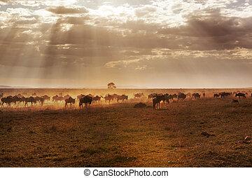 grand, buffles, groupe, savanna., africaine