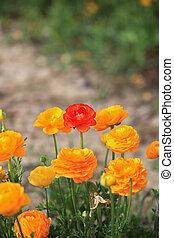 grand, buisson, charmer, jaune, renoncules