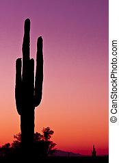 grand cactus, coucher soleil