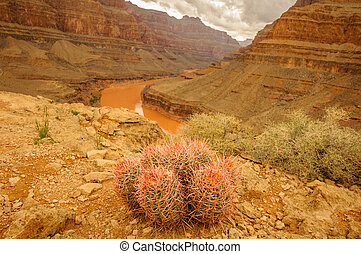 grand canyon, kaktus