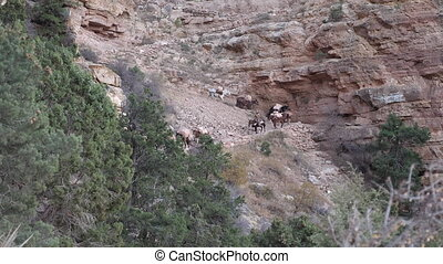 Grand Canyon Mules Convoy On Trail - Convoy of mules...