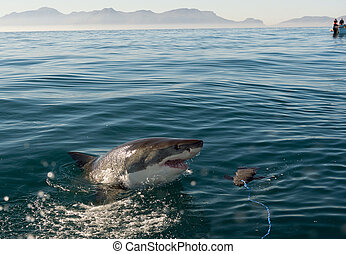 grand, (carcharodon, carcharias), requin, attaque, blanc