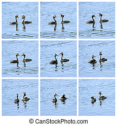 grand, crested, grebe, canards, cour