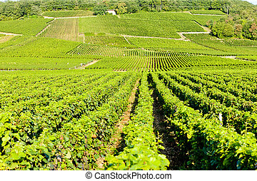 grand cru vineyards of Echezeaux, Burgundy, France