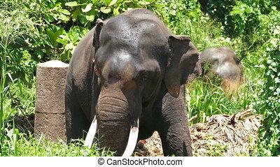 grand, défenses, forêt, oscillation, éléphant