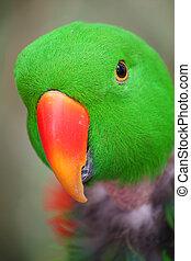 Grand Electus Parrot