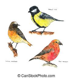 grand, ensemble, redstart, mésange, isolé, crossbill, main, aquarelle, commun, fond, dessiné, blanc, oiseaux, rouges