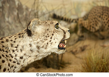 grand, grand, léopard, gros plan