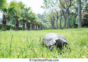 grand, grass., vieux, tortue