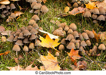 grand groupe, og, leaves., champignons, entre, herbe, grows, érable