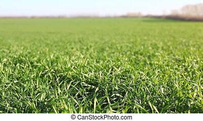 grand, herbe champ, vert