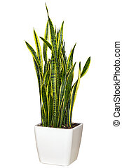 grand, houseplant, pot, blanc, sansevieriya