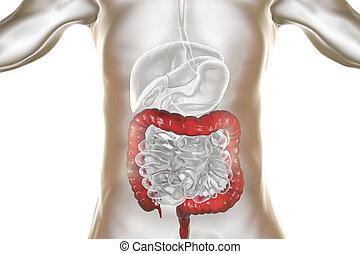 grand intestin, système, mis valeur, digestif, anatomie humaine