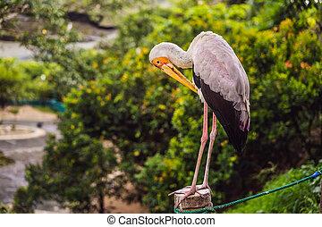 grand, jaune-facturé, ibis, famille, cigogne, cigogne, marche dans eau, mycteria, oiseau, ciconiidae