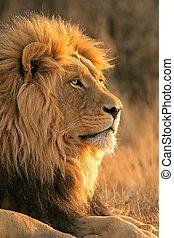 grand, lion, mâle
