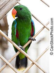 grand, macaw., perroquet vert
