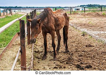 grand, mince, cheval