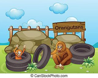 grand, orangutans, deux, rochers