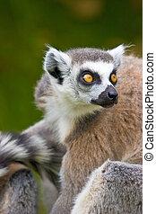 grand plan, de, a, lémurien sonne-tailed
