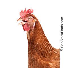 grand plan, figure, de, bétail, poulet, isolé, fond blanc