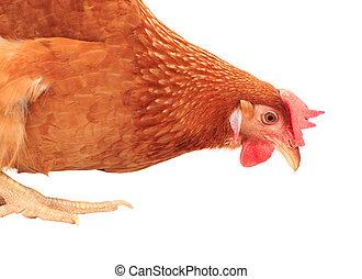 grand plan, poulet, poule, manger, quelque chose, isolé, fond blanc
