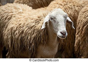 grand plan, sheep.