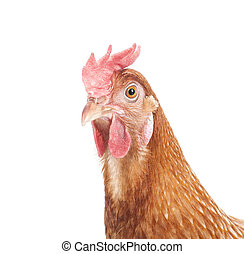 grand plan, tête, brun, poulet, isolé, fond blanc