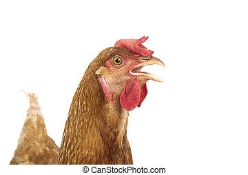 grand plan, tête, poulet, poule, isoler, fond blanc