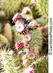 grand, poire, épineux, fruits, épines, couvert, cactus, sien, rouges