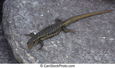 Grand skink sits on a rock. It is an endangered species of...