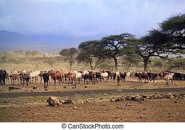 grand, vaches, kenya, troupeau