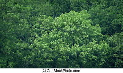 grand, vent, fort, forêt, arbres
