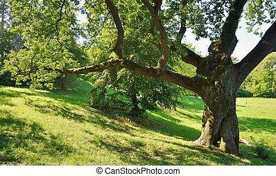 grande, árvore carvalho