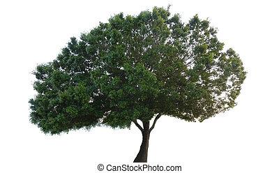 grande, árvore maple, com, verde sai, isolado, branco, fundo