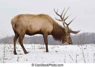 grande, alce toro, en, nevoso, día