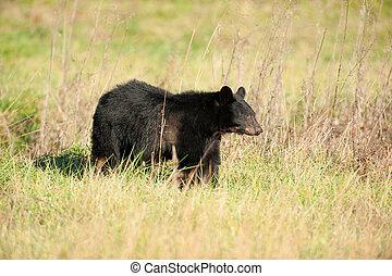 grande, alimentación, oso negro
