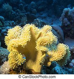 grande, arrecife, hongo, fondo, coral de cuero, amarillo, ...