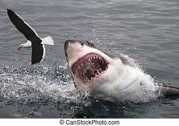 grande, ataque, branca, tubarão
