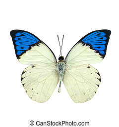 grande, azul, punta, mariposa, aislado, blanco