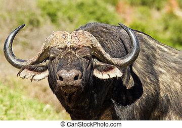 grande, Búfalo, observar