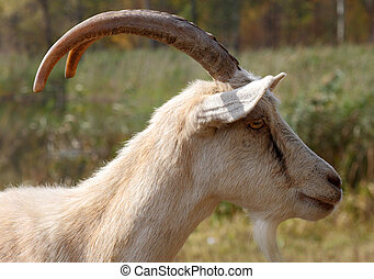 grande, cabra, chifres