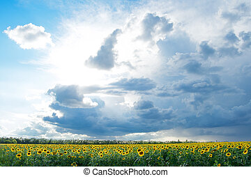 grande, campo, di, oro, girasoli, sotto, il, sole luminoso, blu, cielo