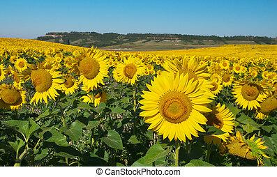 grande, campo, sunflowers.